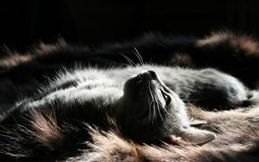 Picture cat, light, fur, animal, pet