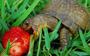 Picture grass, turtle, strawberries