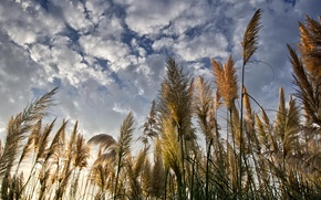 Picture the sky, clouds, nature, reed