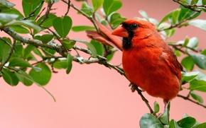 Picture leaves, branches, bird, cardinal, red cardinal, virgin cardinal