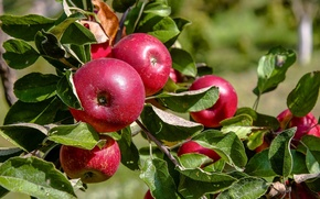 Picture leaves, apples, fruit