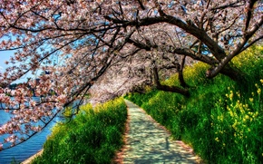 Picture grass, trees, river, spring, hdr, track, green, cherry blossoms