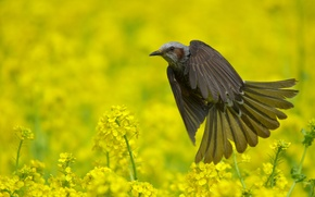 Picture Bulbul, field, bird, nature, summer, flowering