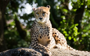 Picture cat, the sun, stone, Cheetah