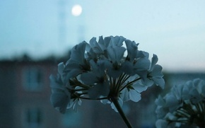 Picture the moon, the evening, Flower, window, white, geranium