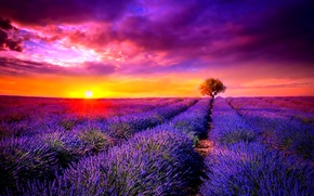 Picture Sunset, tree, lavender, the cultivation of