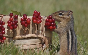 Wallpaper berries, basket, Chipmunk