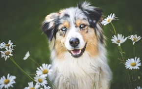 Picture flowers, chamomile, dog, Wallpaper from lolita777, Aussie