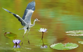 Wallpaper Heron, water lilies, lake, grey, bird