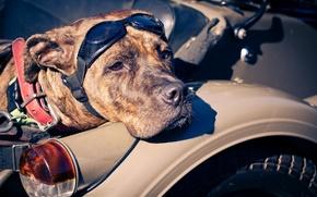 Picture background, dog, Baker