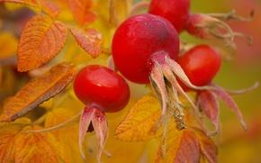 Picture nature, berries, briar