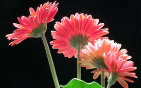 Picture macro, background, petals, stem, gerbera