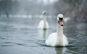 Picture birds, nature, swans