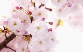 Wallpaper tenderness, flowers, branch, Sakura, character, spring