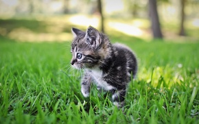 Picture grass, nature, grey, Kitty, striped, bokeh