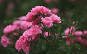 Wallpaper roses, petals, blur, pink, buds
