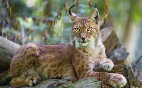 Picture cat, lynx, ©Tambako The Jaguar