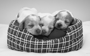 Picture puppies, black and white, sleeping