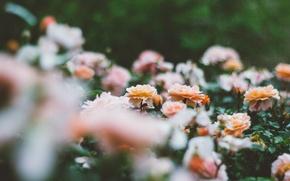 Picture flowers, petals, a lot