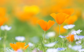 Picture meadow, escholzia, California poppy