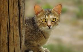 Picture wood, eyes, cat, fur, ears