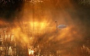 Wallpaper fog, Swan, lake
