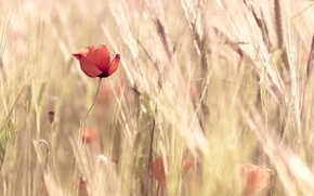 Picture wheat, field, flowers, red, nature, background, widescreen, Wallpaper, Mac, wallpaper, ears, flowers, widescreen, background, full …