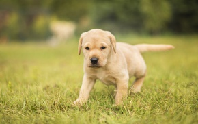 Wallpaper dog, puppy, grass, bokeh, Labrador Retriever