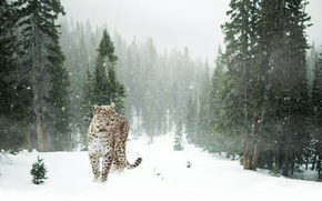 Picture forest, glade, snowflakes, trees, winter, snow, predator, spotted, leopard