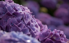 Picture macro, flowers, Bush, bokeh, hydrangea