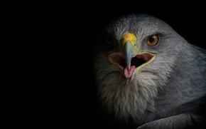 Picture bird, predator, Falcon, Buzzard, Sarich