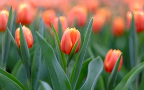 Wallpaper macro, buds, tulips