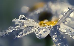 Picture flower, drops, macro, Rosa, lights, Shine, petals, Daisy