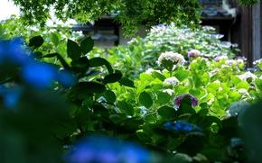 Picture greens, leaves, garden, Japan, hydrangea
