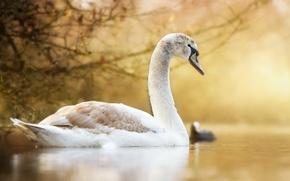 Wallpaper nature, lake, Swan