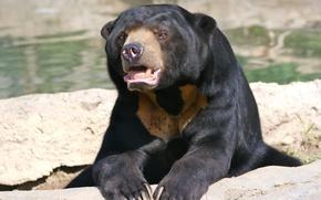 Picture bear, Malayan sun bear, biruang