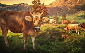 Picture mountains, treatment, cows