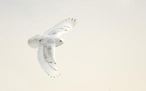 Picture white, wings, snowy owl, open wings