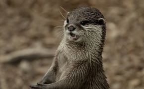 Picture look, background, muzzle, Otter, Otter