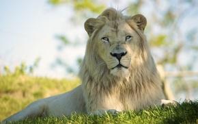 Picture cat, look, predator, Leo, mane