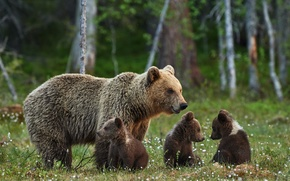 Picture bears, glade, family, charming, brown, bears, bears, bear, forest, stay, nature, wallpaper., blur, bokeh, summer, ...