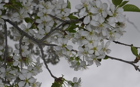 Picture Cherry, the cherry blossoms, cherry in Russia