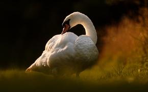 Picture bird, Swan, bokeh