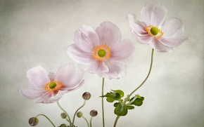 Picture flowers, background, gentle, pink, anemones