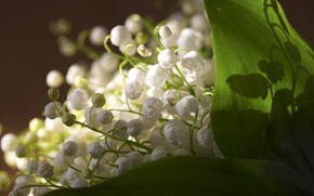 Wallpaper flowers, freshness, lilies of the valley, spring, leaves