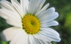 Picture macro, flowers, Daisy