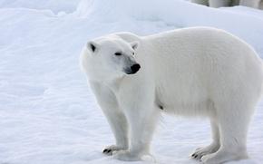 Picture winter, snow, polar bear