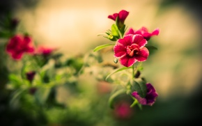 Picture focus, macro, red, flowers, flower, leaves, blur, petals, stem