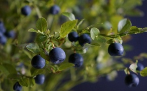 Picture leaves, branches, berries, Bush, blueberries, leaves, berries, branches, blueberries, Bush