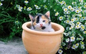 Wallpaper flowers, chamomile, kitty, pot